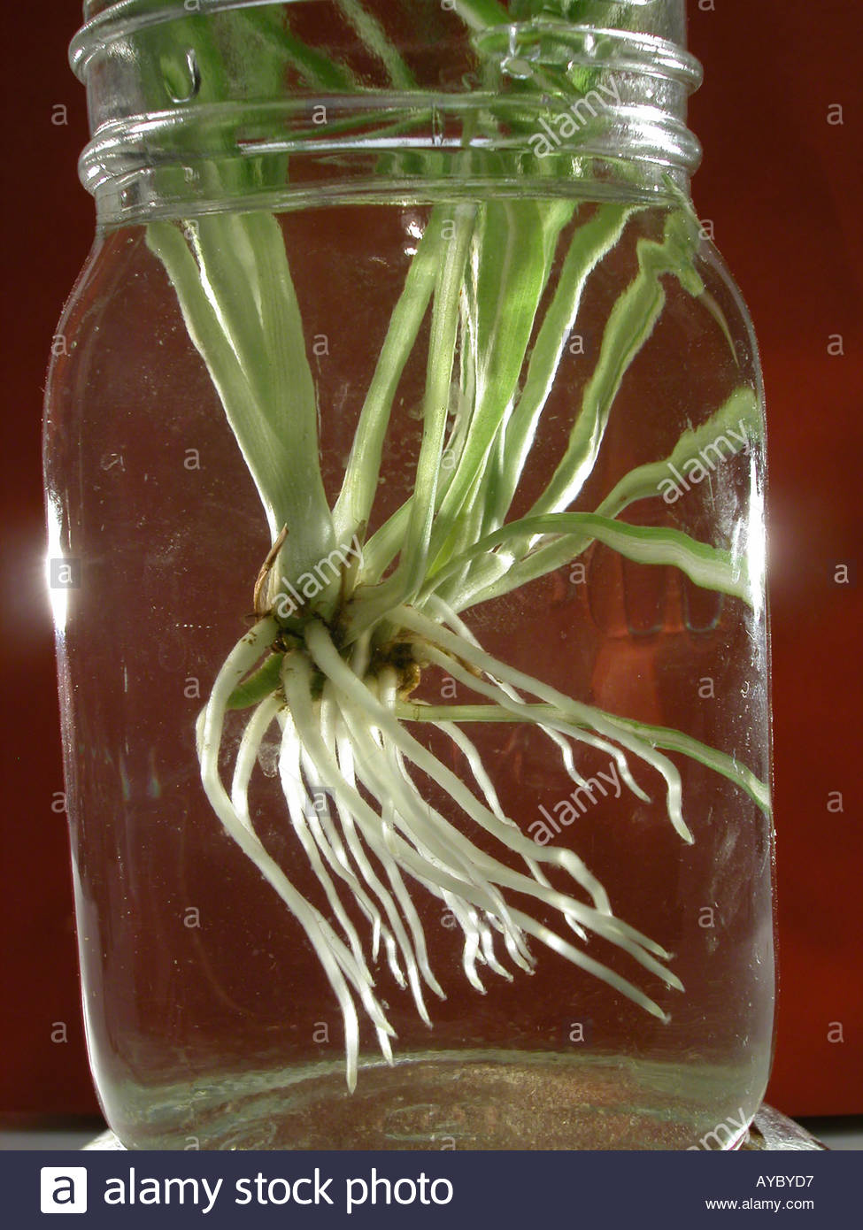 Rooting Spider Plant Cuttings In Water Stock Photo Alamy