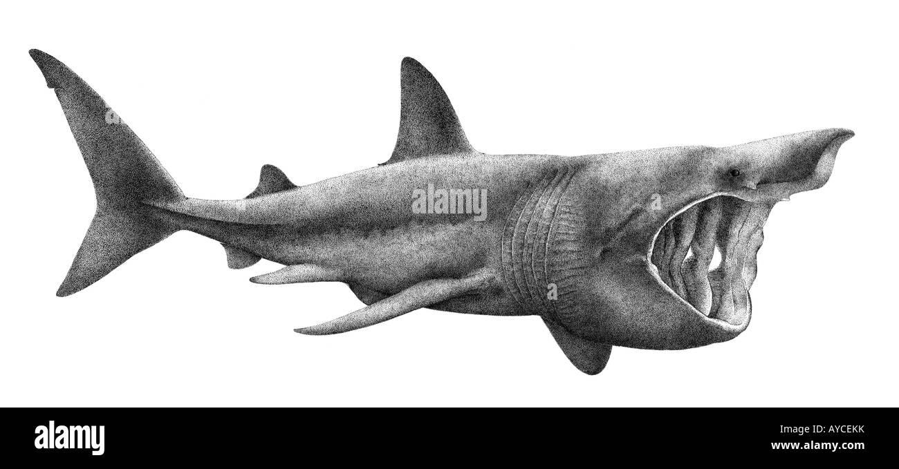 Basking Shark (Cetorhinus maximus), drawing - Stock Image