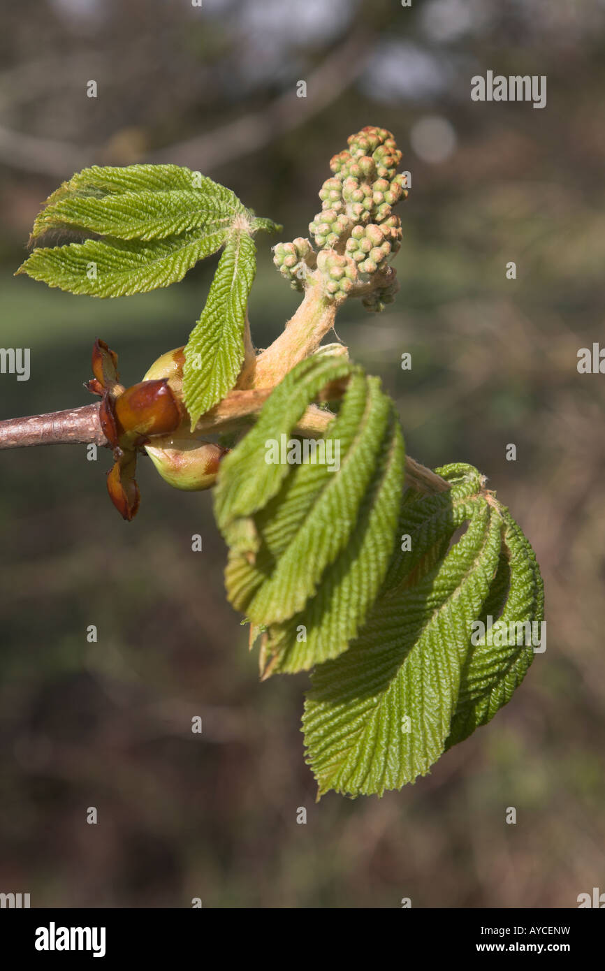 Horse chestnut tree bud and new leaves - aesculus hippocastanum - Stock Image