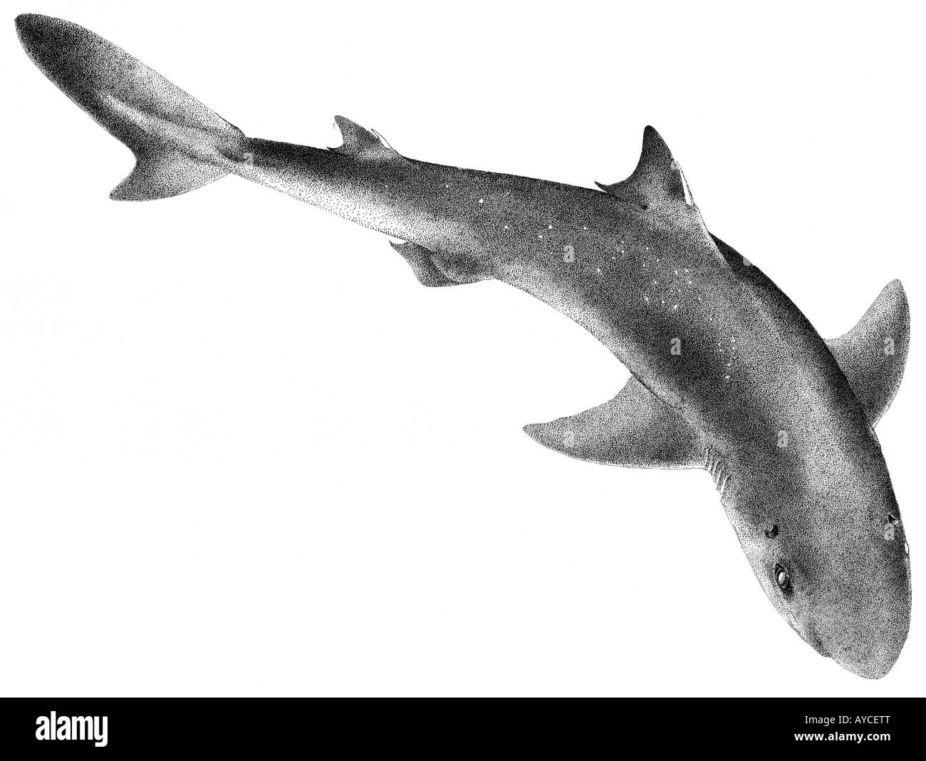 Spurdog, Spiny Dogfish, Piked Dogfish (Squalus acanthias), drawing ... for dogfish drawing  117dqh