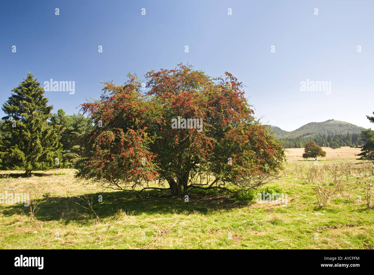 The hawthorn (Crataegus monogyna) in fructification. Aubépine monogyne (Crataegus monogyna) en fruits. - Stock Image