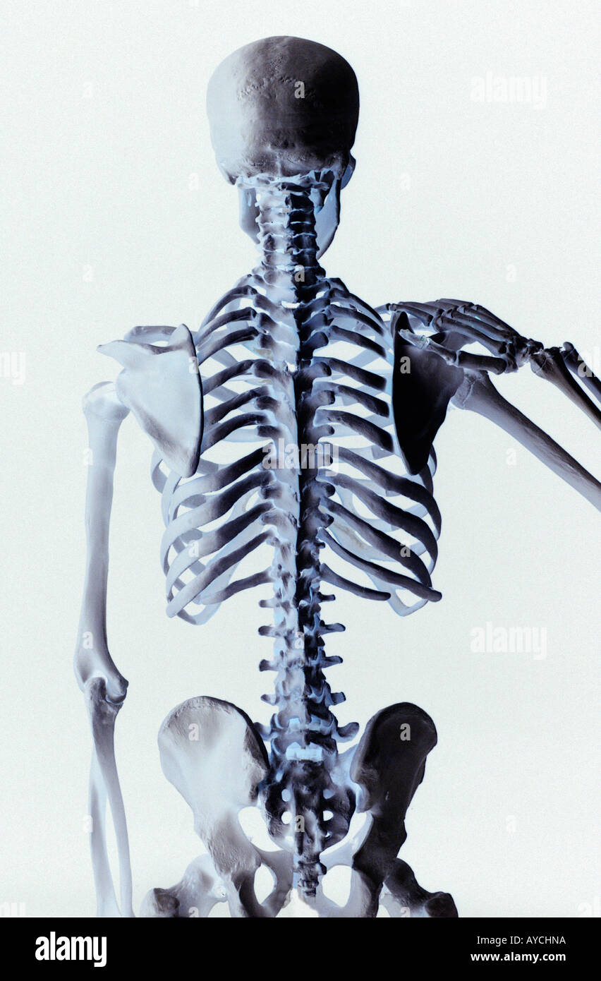 Rear View Of A Human Skeleton Showing The Vertebrae Back Bone And