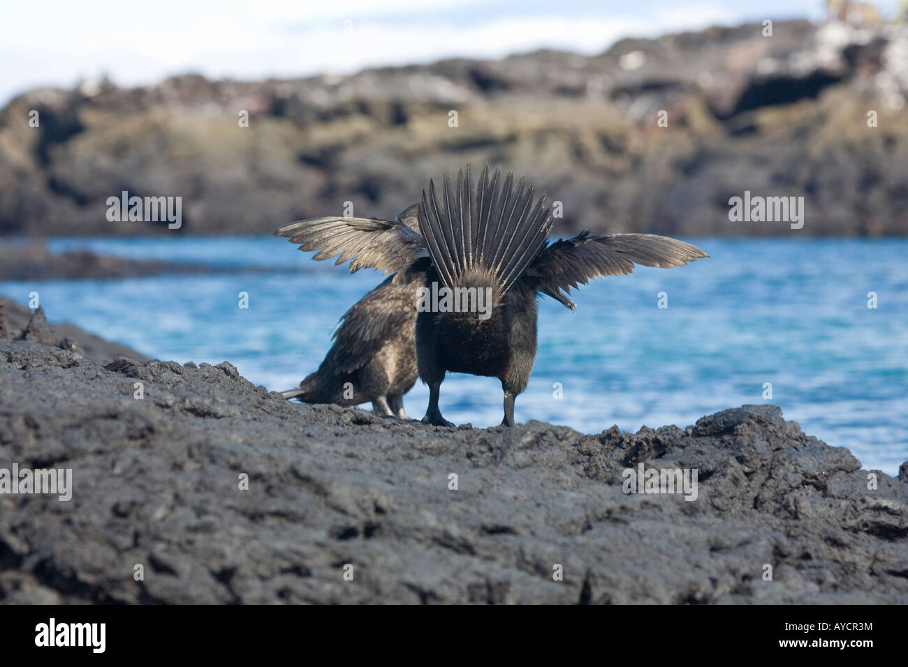 Flightless cormorants on the shore of Isabela showing their opinion of tourists - Stock Image