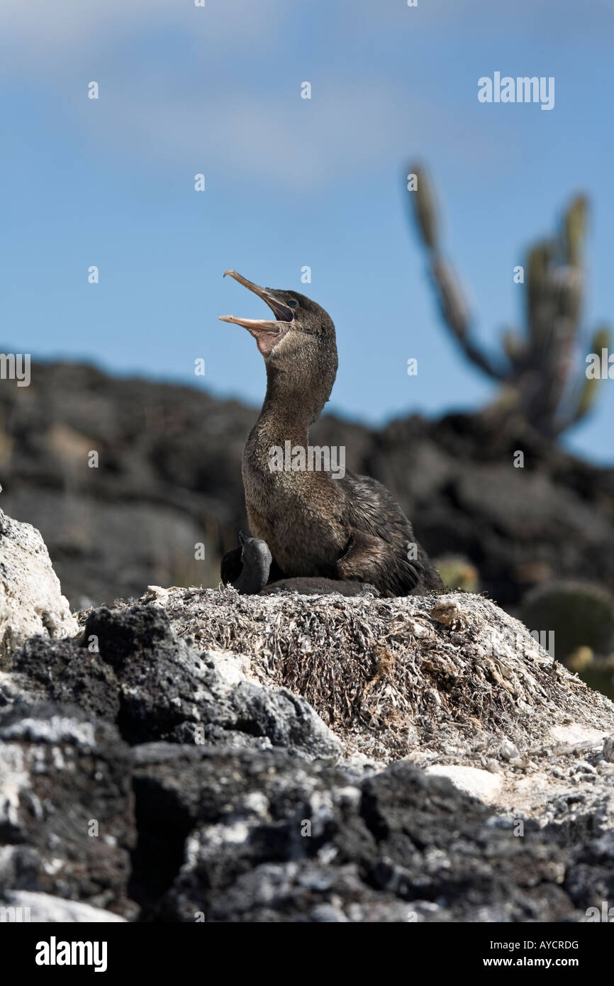 Flightless cormorant cooling off on a nest with a chick Isabela - Stock Image