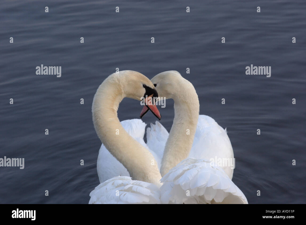 Swans necks forming a heart shape at Gartmorn Dam Country Park and Nature Reserve. Stock Photo