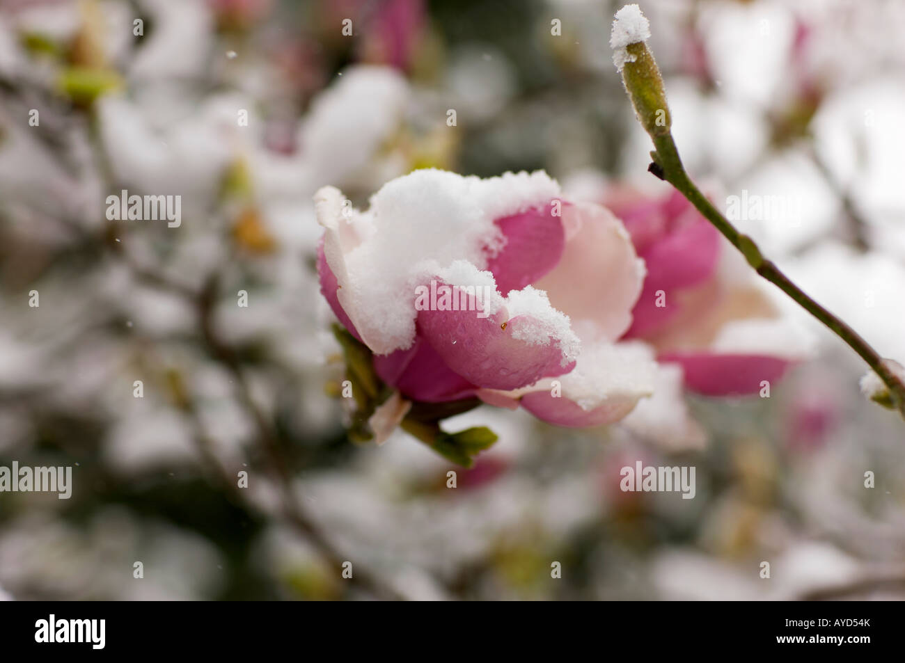 Pink magnolia flowers covered in early spring snow stock photo pink magnolia flowers covered in early spring snow mightylinksfo