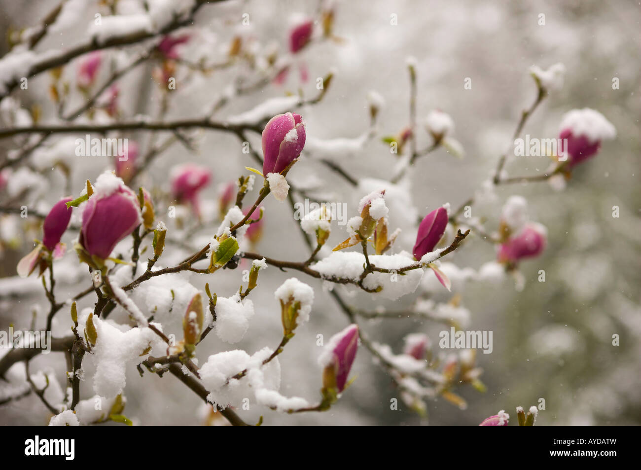 Spring Flowers Covered In Snow Stock Photos Spring Flowers Covered