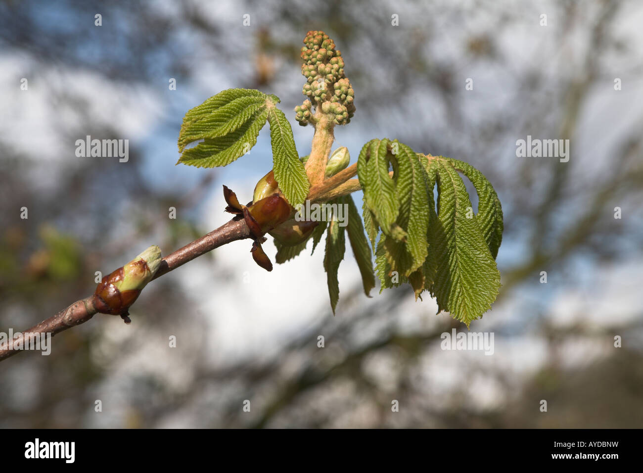 Buds and leaves of horse chestnut tree - aesculus hippocastanum - Stock Image