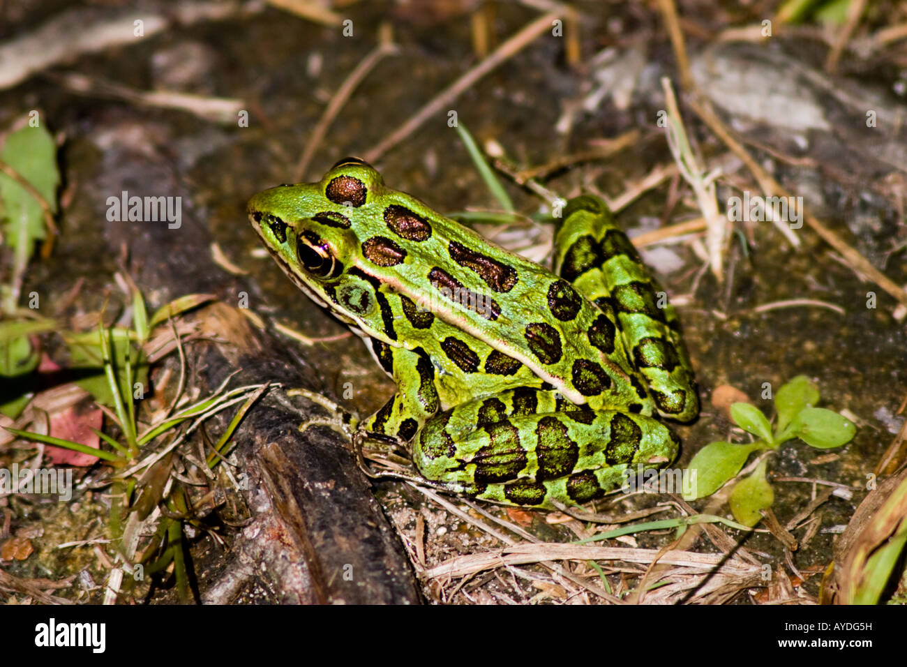 Green spotted frog on the ground Stock Photo