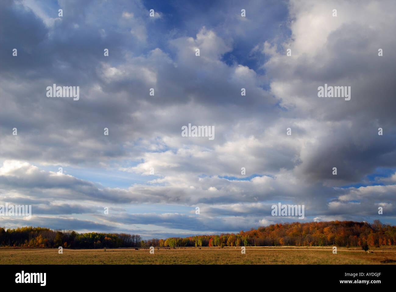 Cattle grazing in pastureland in Fall under big clouds - Stock Image