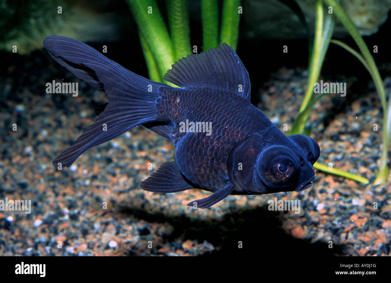"""Carassius auratus, Gold Fish """"Telescopic Black Moor"""", Ciprinidae Stock Photo"""