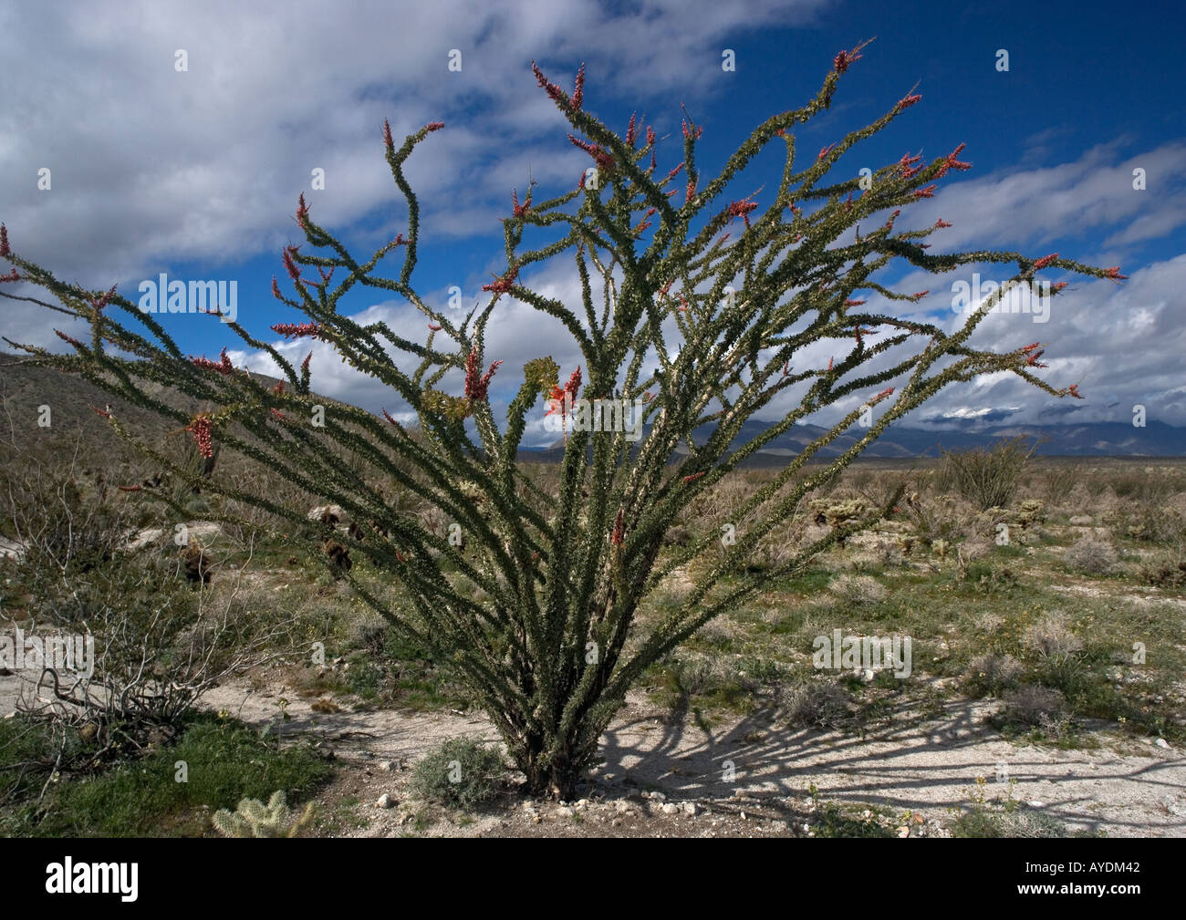 Ocotillo or candlewood (Fouquieria splendens) Adapted to desert life, able to sprout leaves whenever it rains - Stock Image