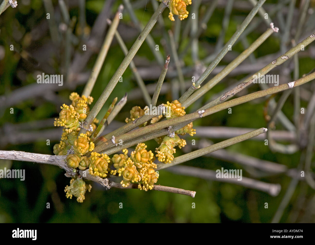 Mormon tea or green ephedra (Ephedra viridis) with male