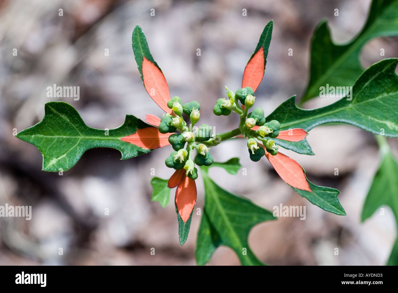 Wild fire on the mountain growing in a field in Florida - Euphorbia