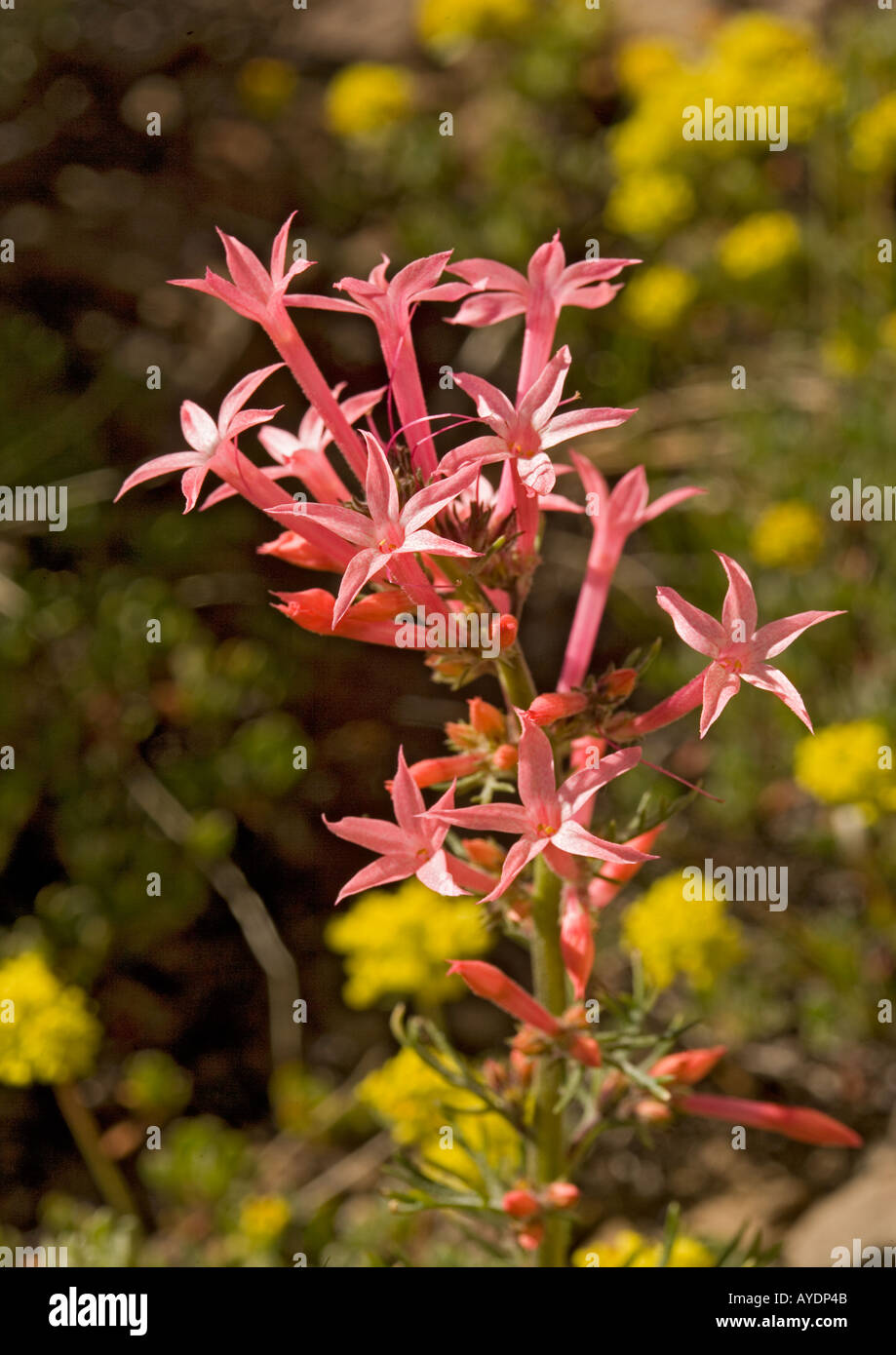 A pink form of scarlet gilia ( Ipomopsis tenuituba ) sometimes classified as a form of Ipomopsis aggregata - Stock Image