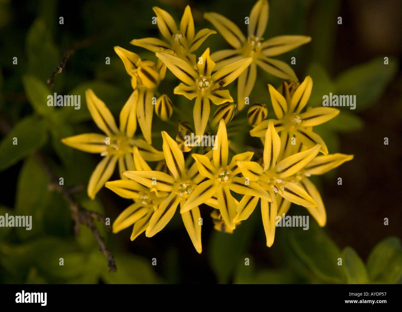 Pretty Face Triteleia Ixioides In Flower Old Name Was Brodiaea