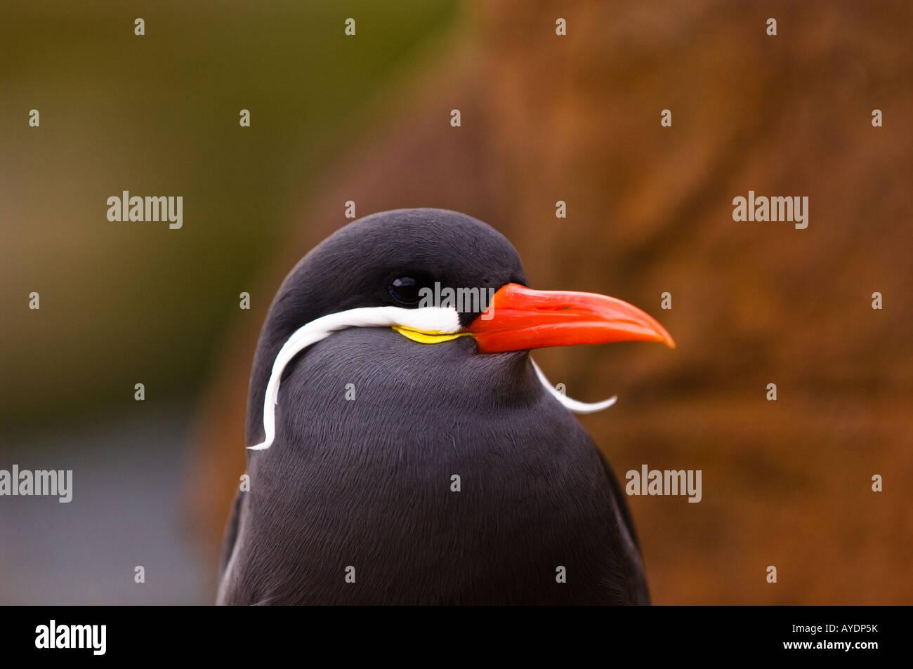 Inca Tern (Larosterna inca) male. Stock Photo