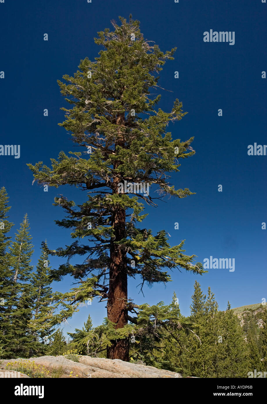 Red fir tree (Abies magnifica) at c 9500 ft in the Sierra Nevada, USA - Stock Image