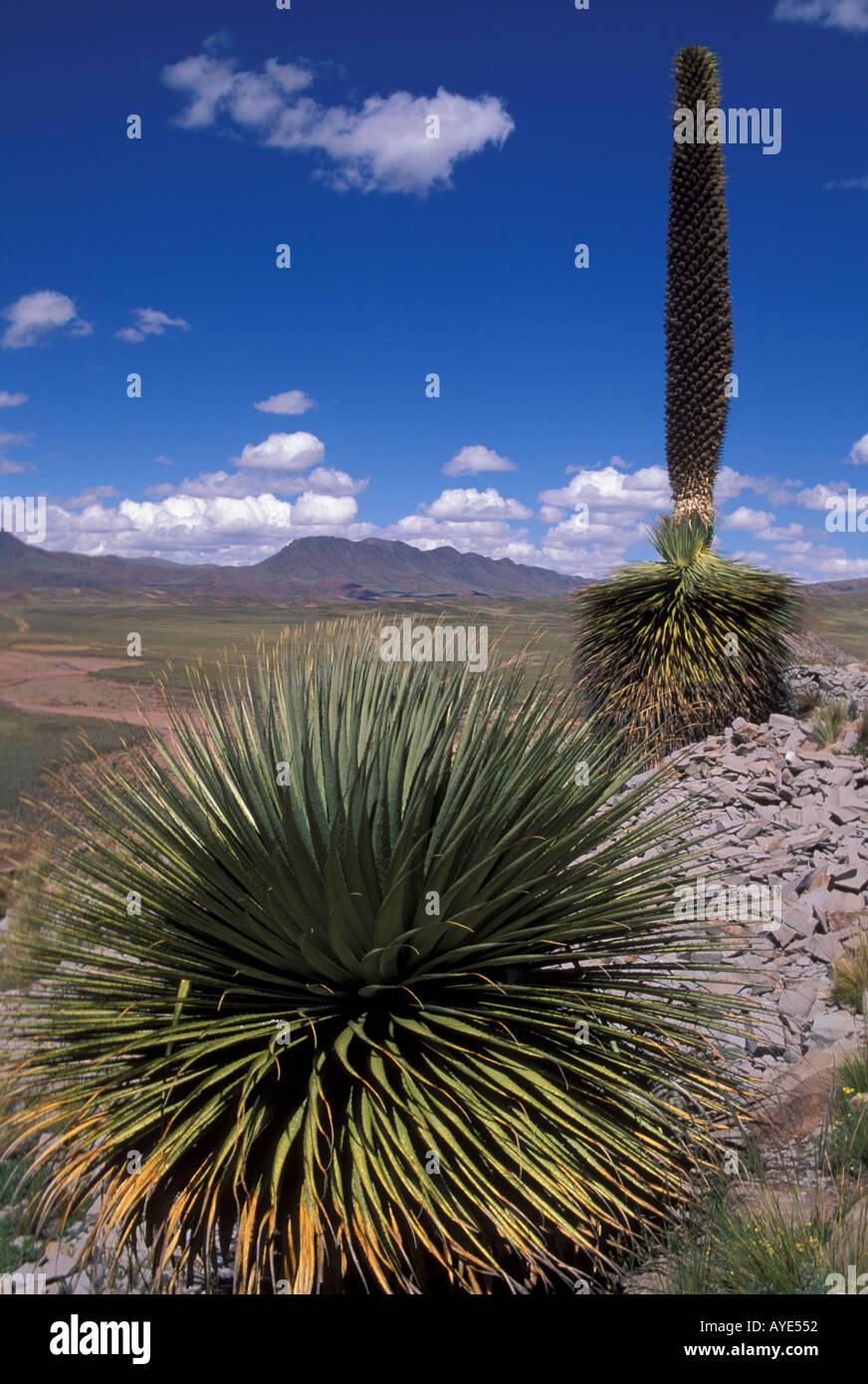 Puya Raimondii century plant Cerro Comache National Park Altiplano Bolivia Stock Photo
