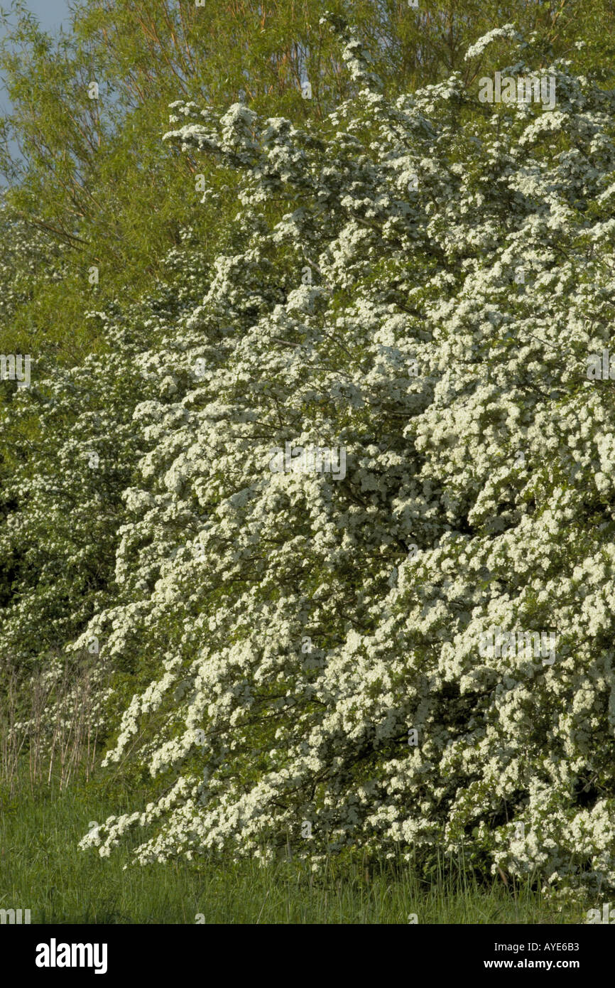 Masses Of White Flowers On The Hawthorn In May Stock Photo 1828530