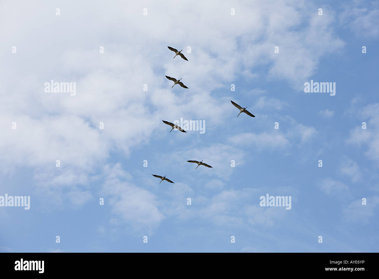 Six birds flying - Stock Image