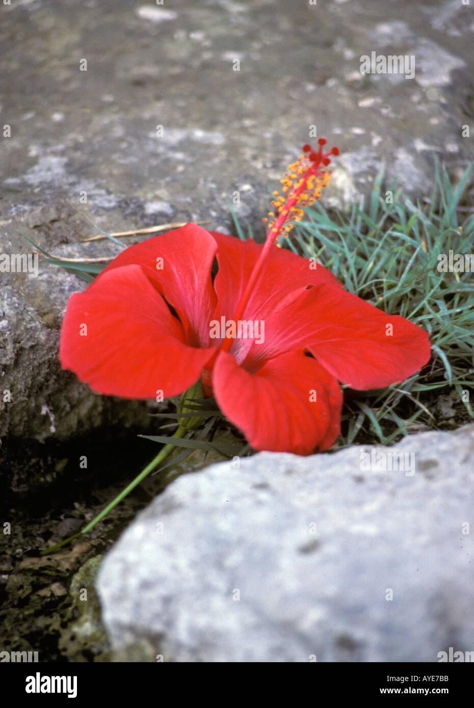 Hibiscus Flower Red Flower Greek Stock Photos Hibiscus Flower Red