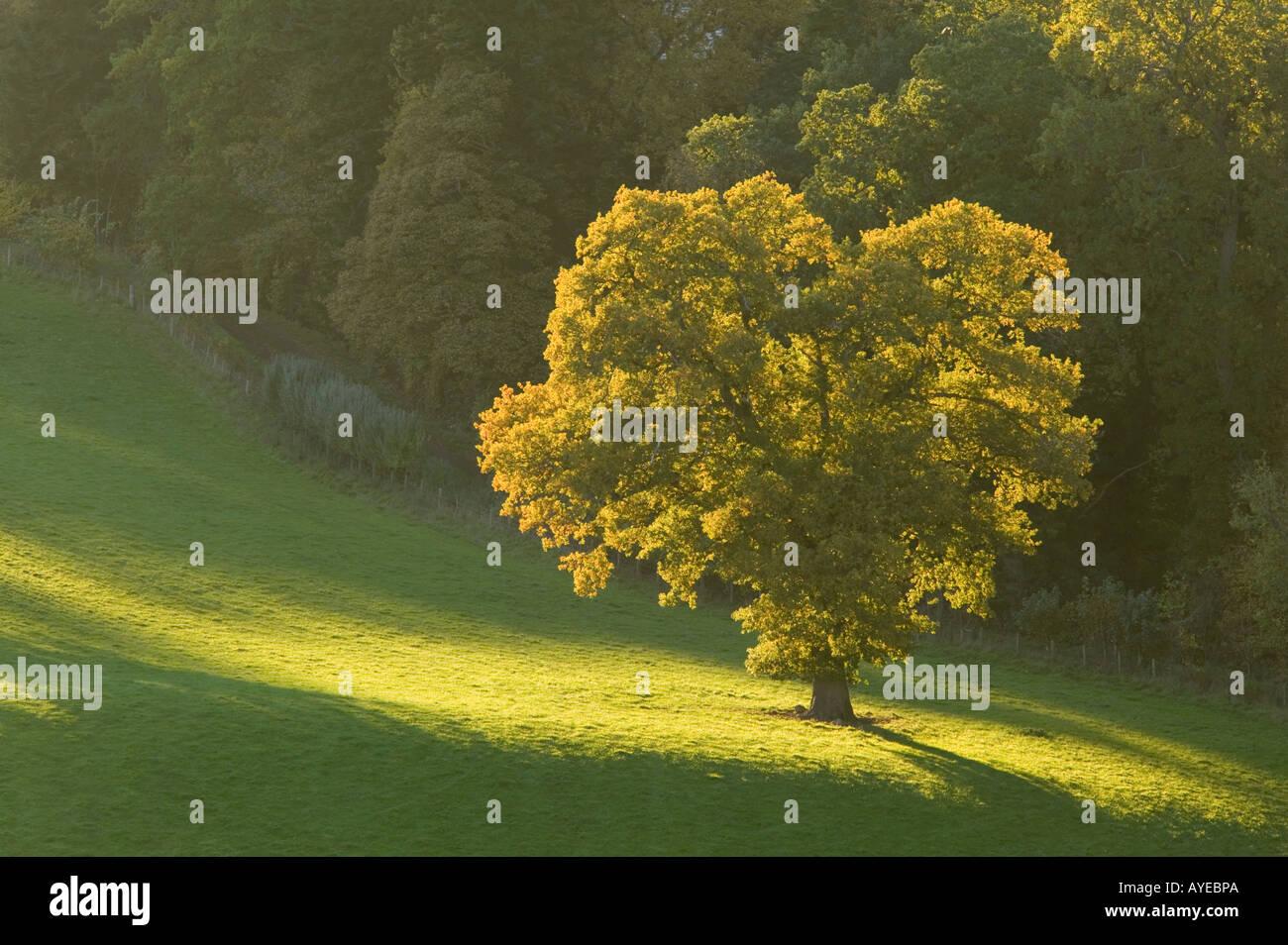 Tree in evening sunshine near Dryburgh, Scottish Borders, Scotland - Stock Image