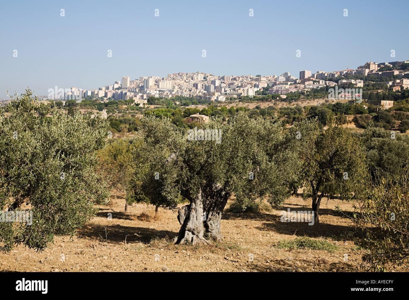 Sicily Olive Tree Stock Photos & Sicily Olive Tree Stock Images - Alamy