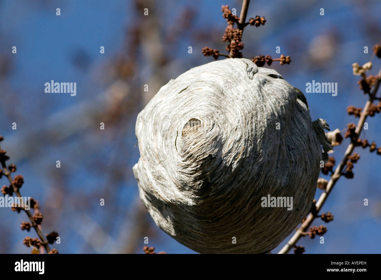 Wasp nest hanging from a tree branch in Boise Idaho - Stock Image