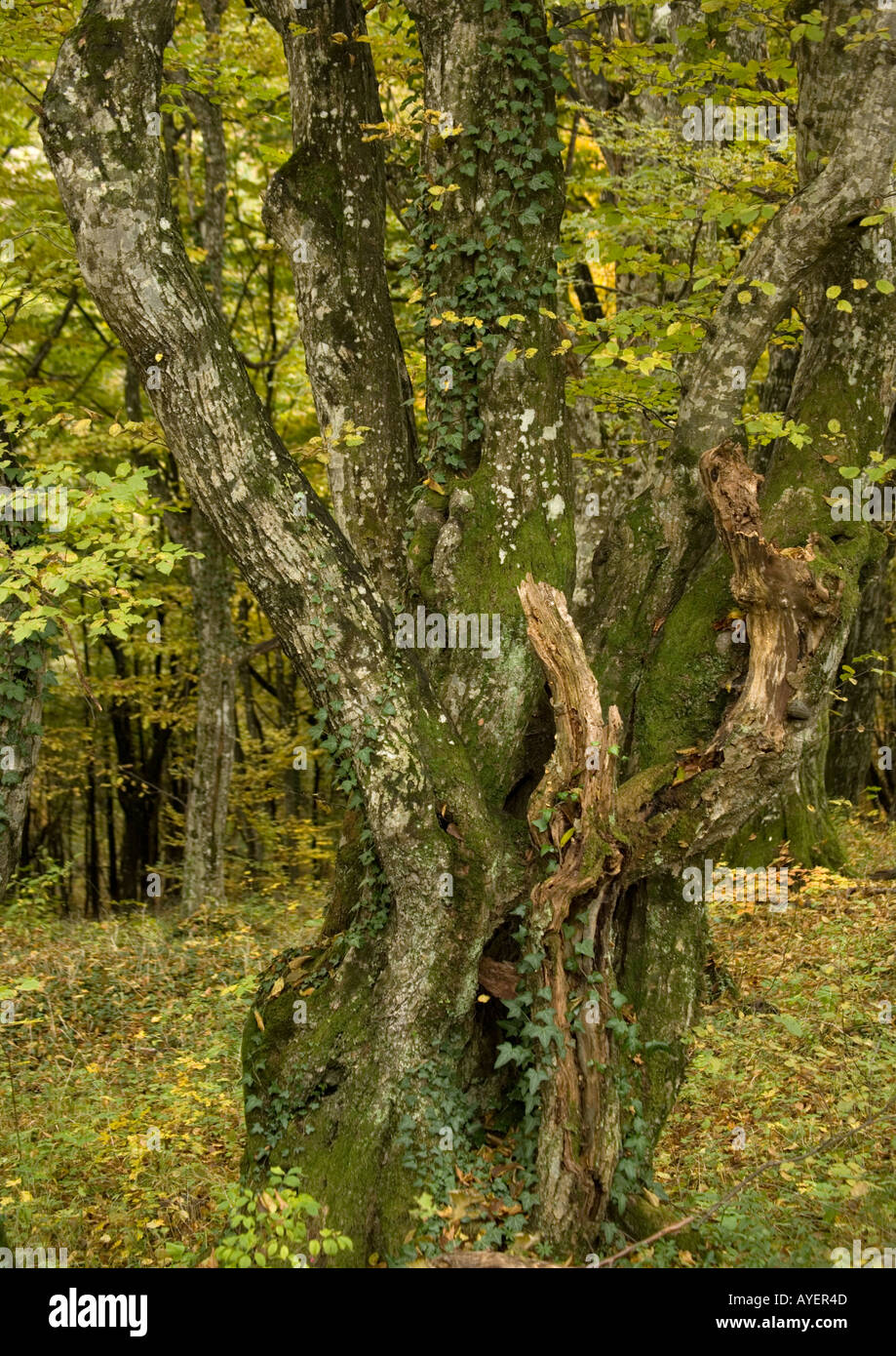 Old hornbeams Carpinus betulus mainly coppiced in natural woodland - Stock Image