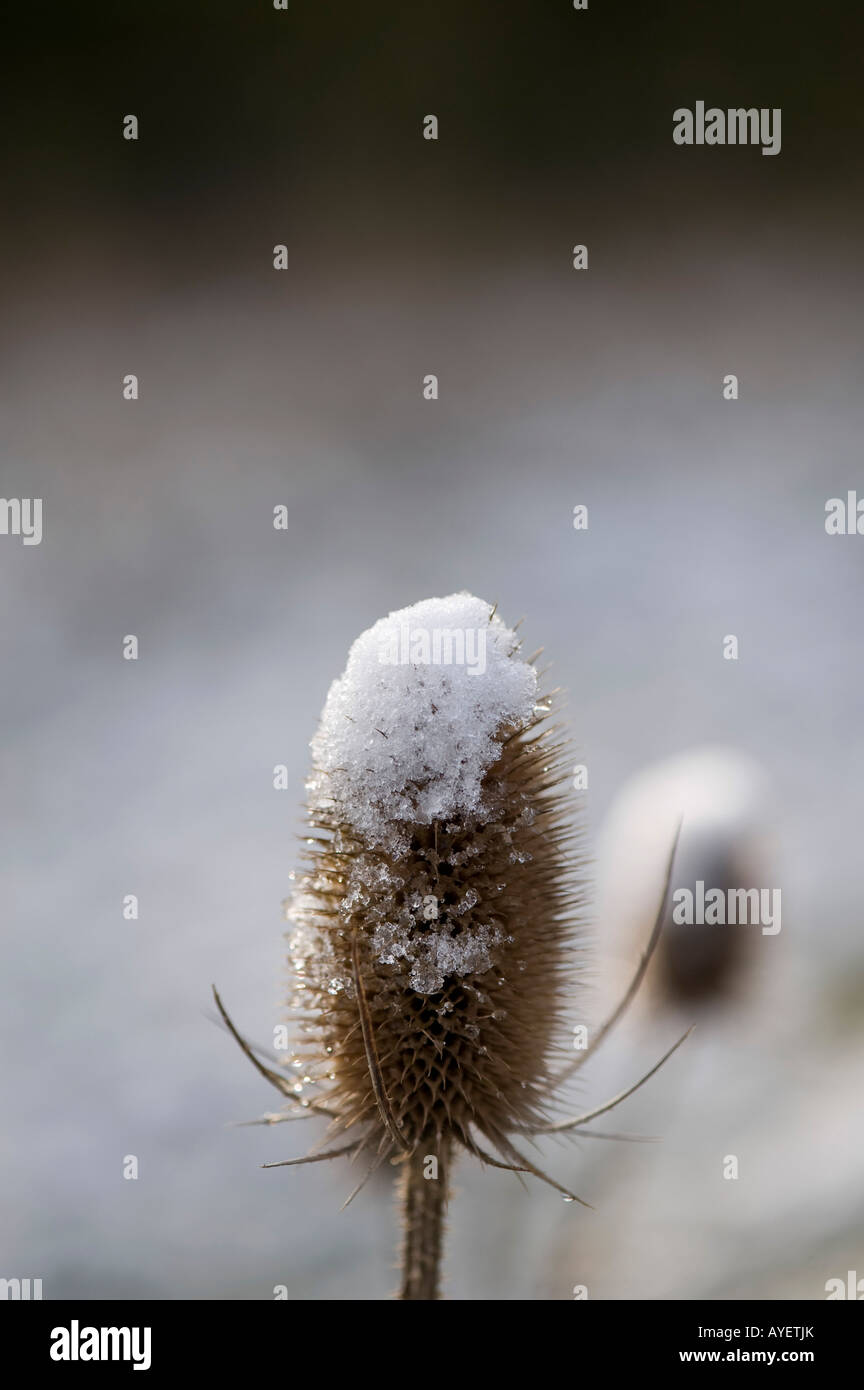 Dipsacus fullonum. Teasel covered in snow - Stock Image