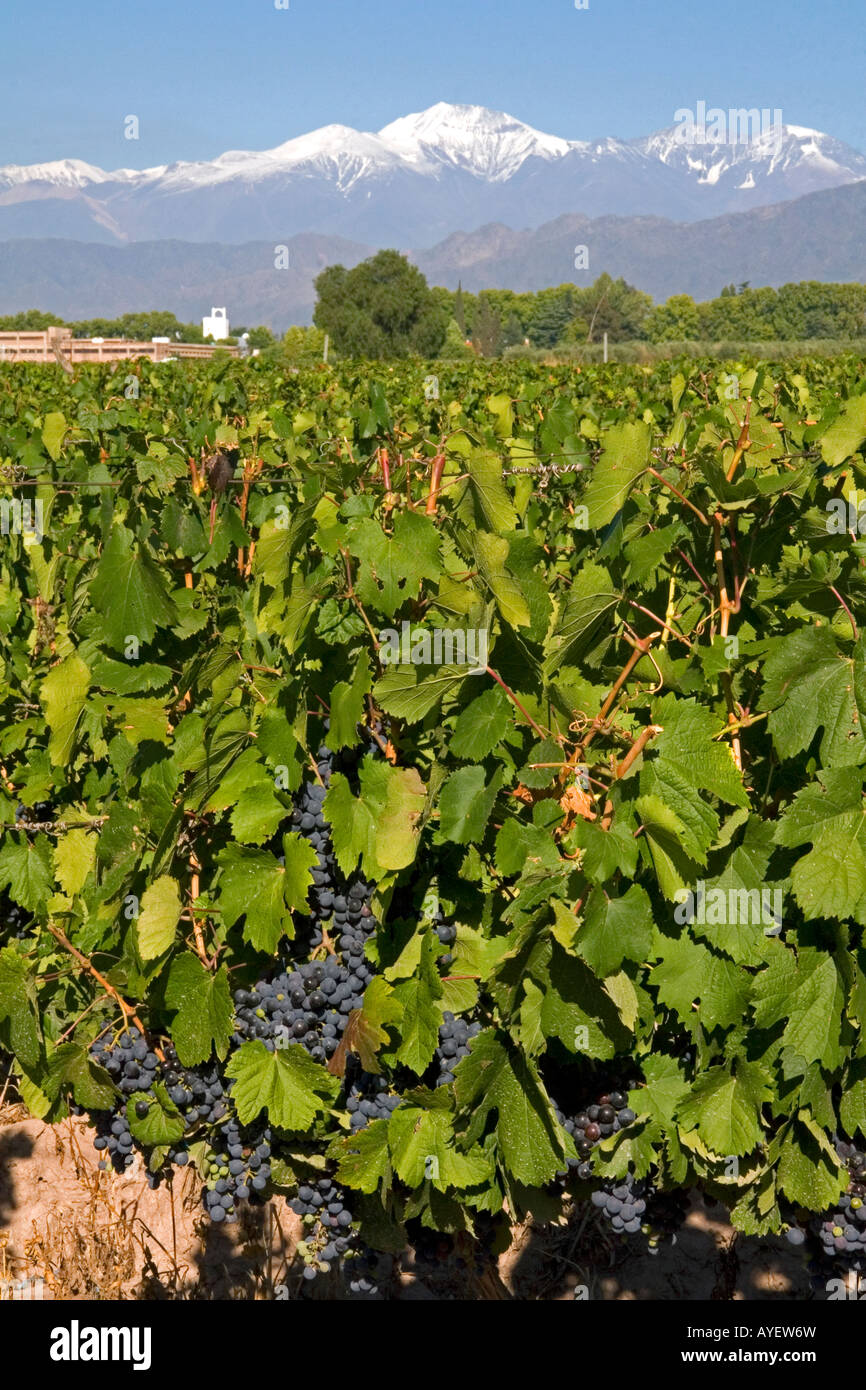 A vineyard with the Andes Mountain Range in the background near Mendoza Argentina - Stock Image