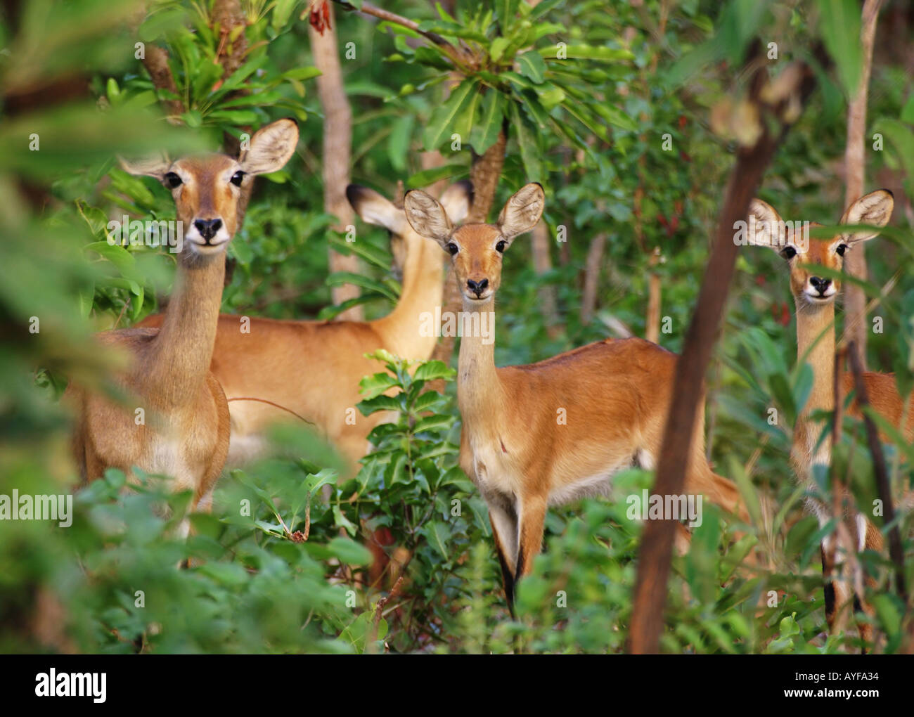 Herd of kob hinds at dusk in Mole National Park Northern Ghana - Stock Image