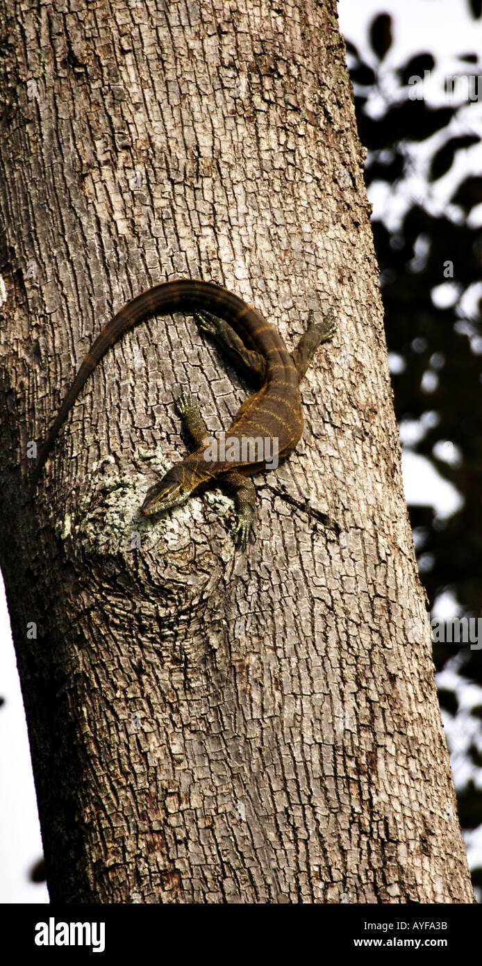 Large monitor lizard suns itself at dawn high on a rainforest tree beside the Black Volta River Northwestern Ghana - Stock Image