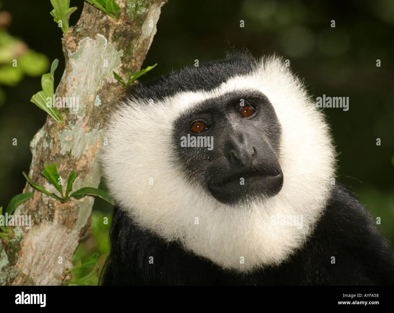 Black and White Colobus monkey Baobeng Fiema Ghana - Stock Image