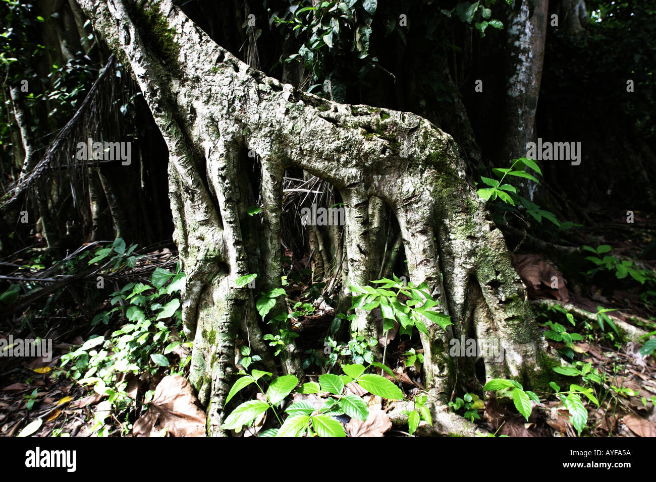 Strangler fig with scars where bird lime has been collected by children Baobeng Fiema Ghana - Stock Image
