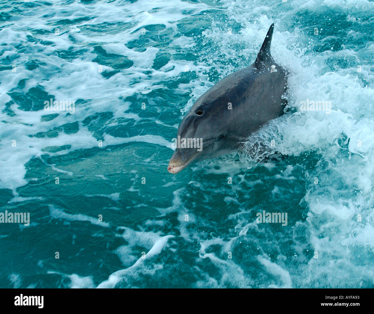 JoJo the friendly Bottlenose Dolphin jumping out of the ocean following a boat out of the marina in the Turks and Caicos Islands - Stock Image