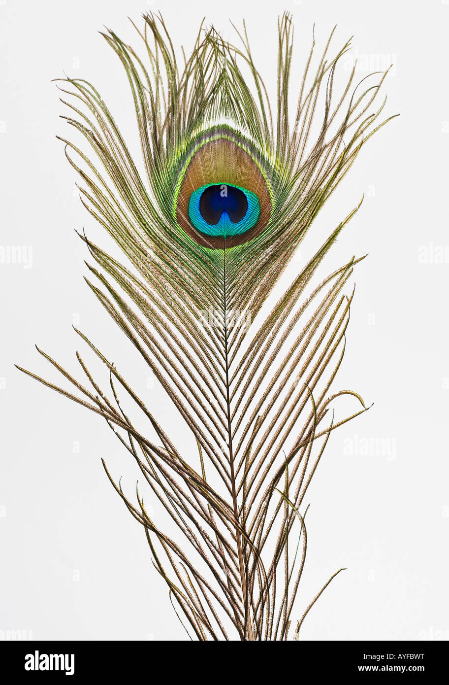 Close up of peacock feather Stock Photo