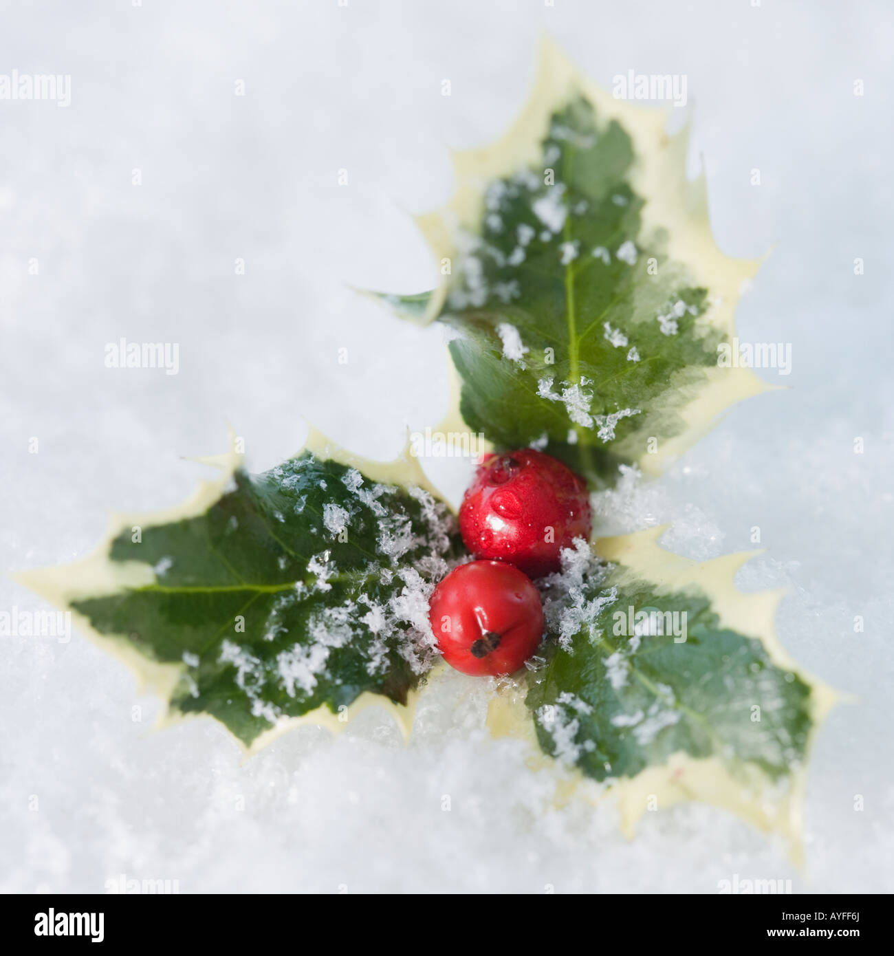 Close up of holly in snow - Stock Image