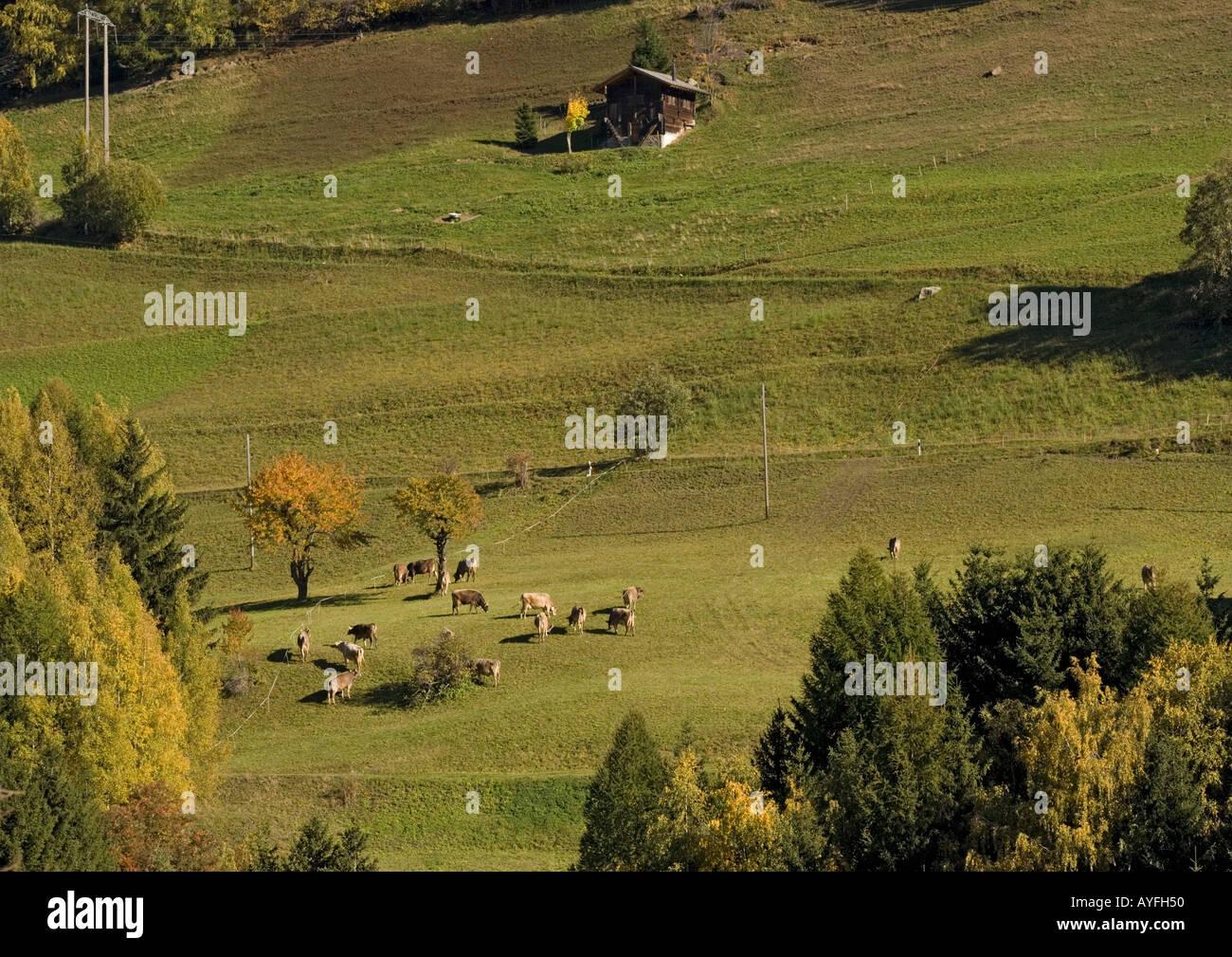 Cattle grazing open fields in alps South Switzerland near Disentis Autumn - Stock Image