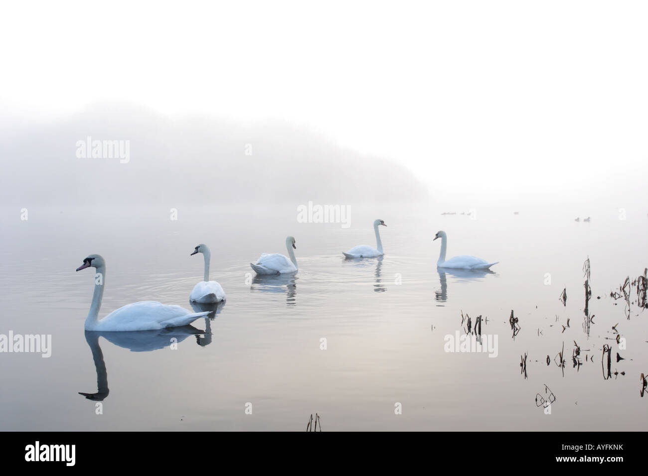 Swans in early morning mist at Gartmorn Dam Country Park and Nature Reserve. - Stock Image