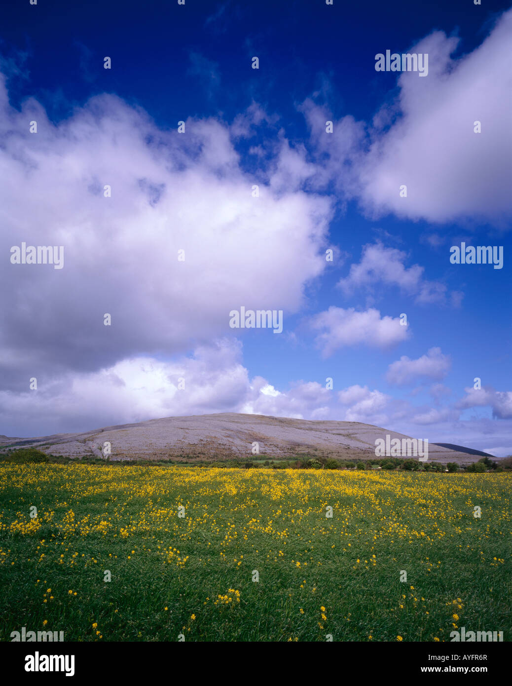 a meadow of charlock grows beneath the raised limestone plateau of the burren in county clare ireland - Stock Image