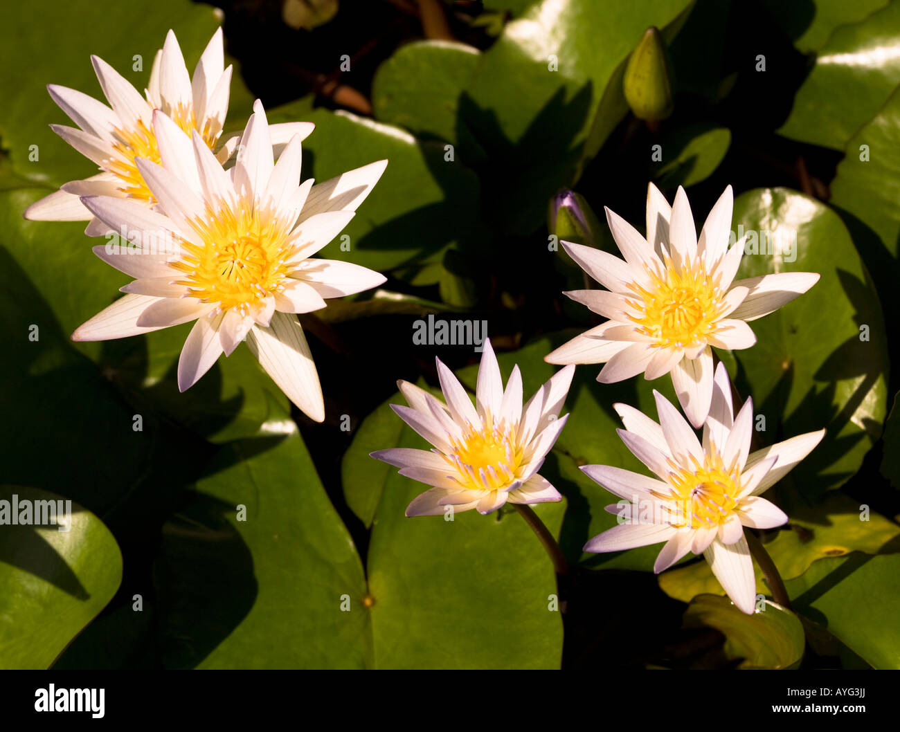 Hawaiian Flowers Stock Photos Hawaiian Flowers Stock Images Alamy
