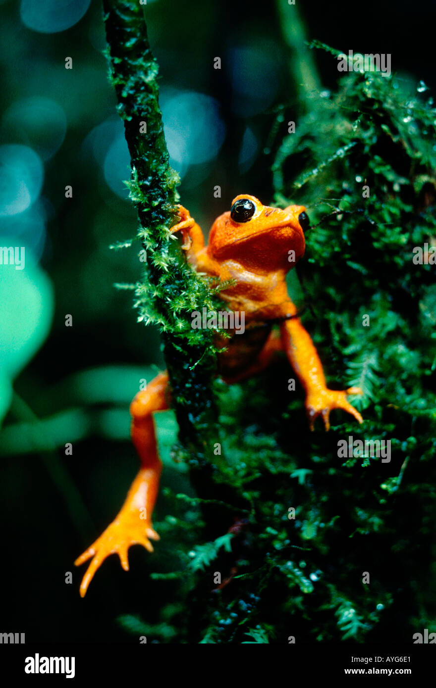 golden toad bufo periglenes monteverde cloud forest reserve stock