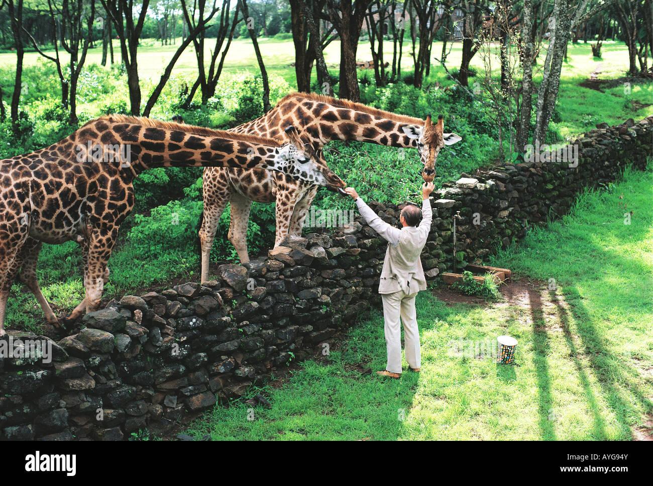 Rothschild s Giraffe being fed by white male man in safari suite at Giraffe Manor Nairobi Kenya East Africa - Stock Image