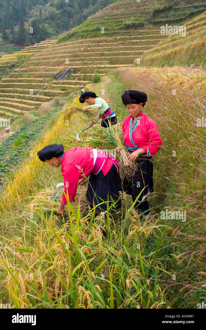 Yao Women Cutting Rice in Terrace Fields Minority Zhuang Village of Ping An during Harvest Season Longsheng China Stock Photo