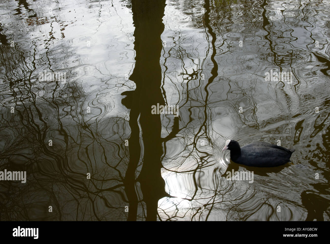 COOT IN  A LAKE - Stock Image
