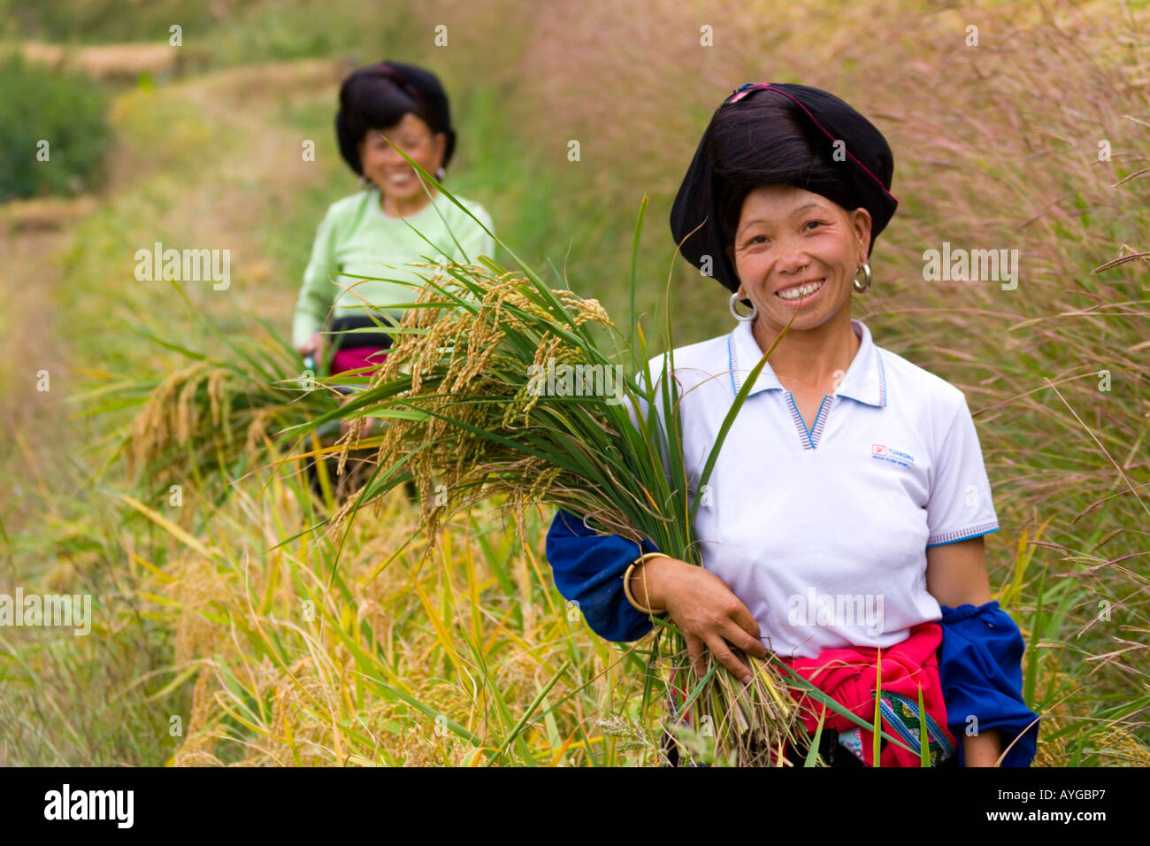Women Cutting Rice in Terrace Fields Minority Yao Village of Ping An during Harvest Season  Longsheng China Stock Photo