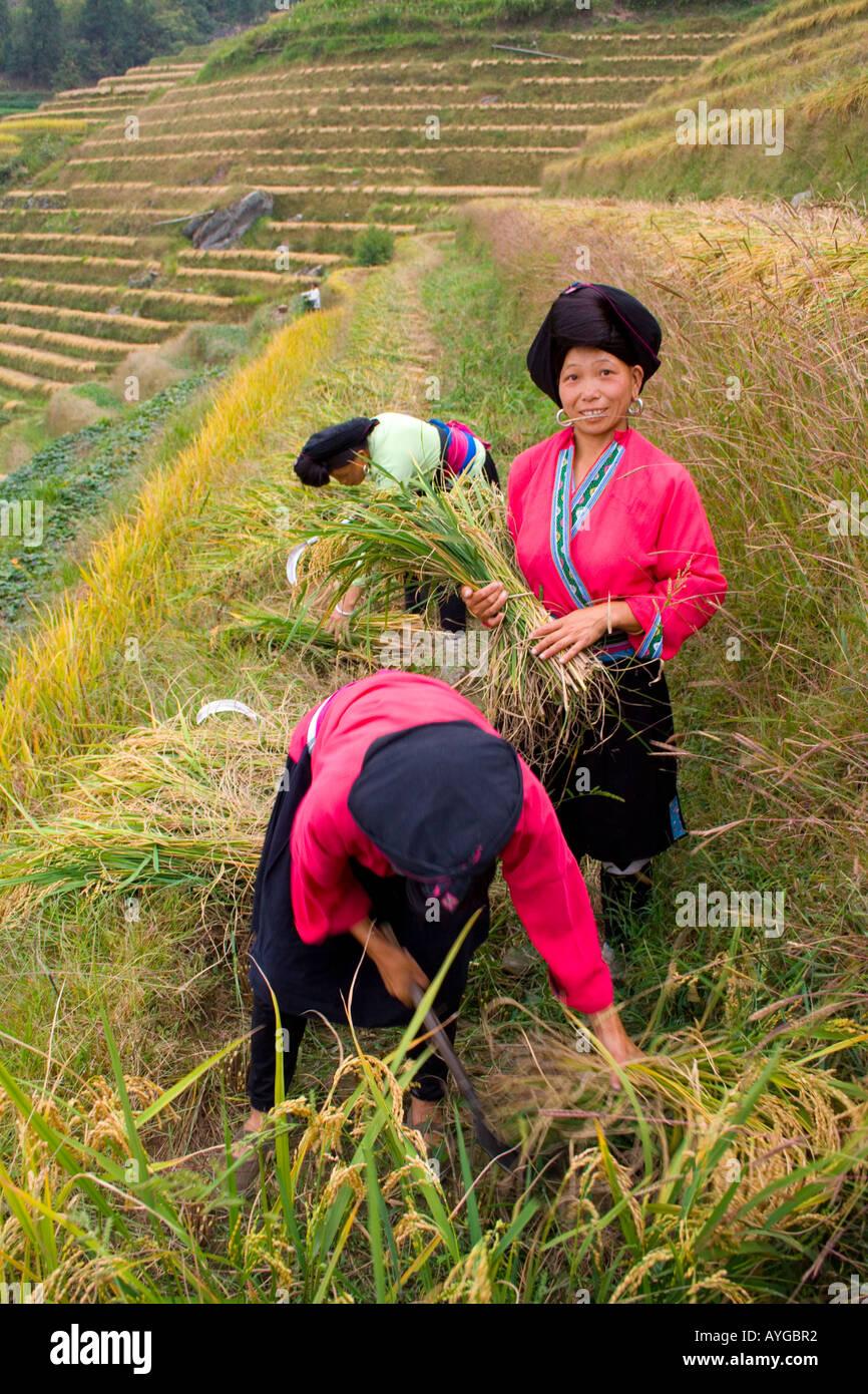 Yao Women Cutting Rice in Terrace Fields Minority Zhuang Village of Ping An during Harvest Season Longsheng China Stock Photo