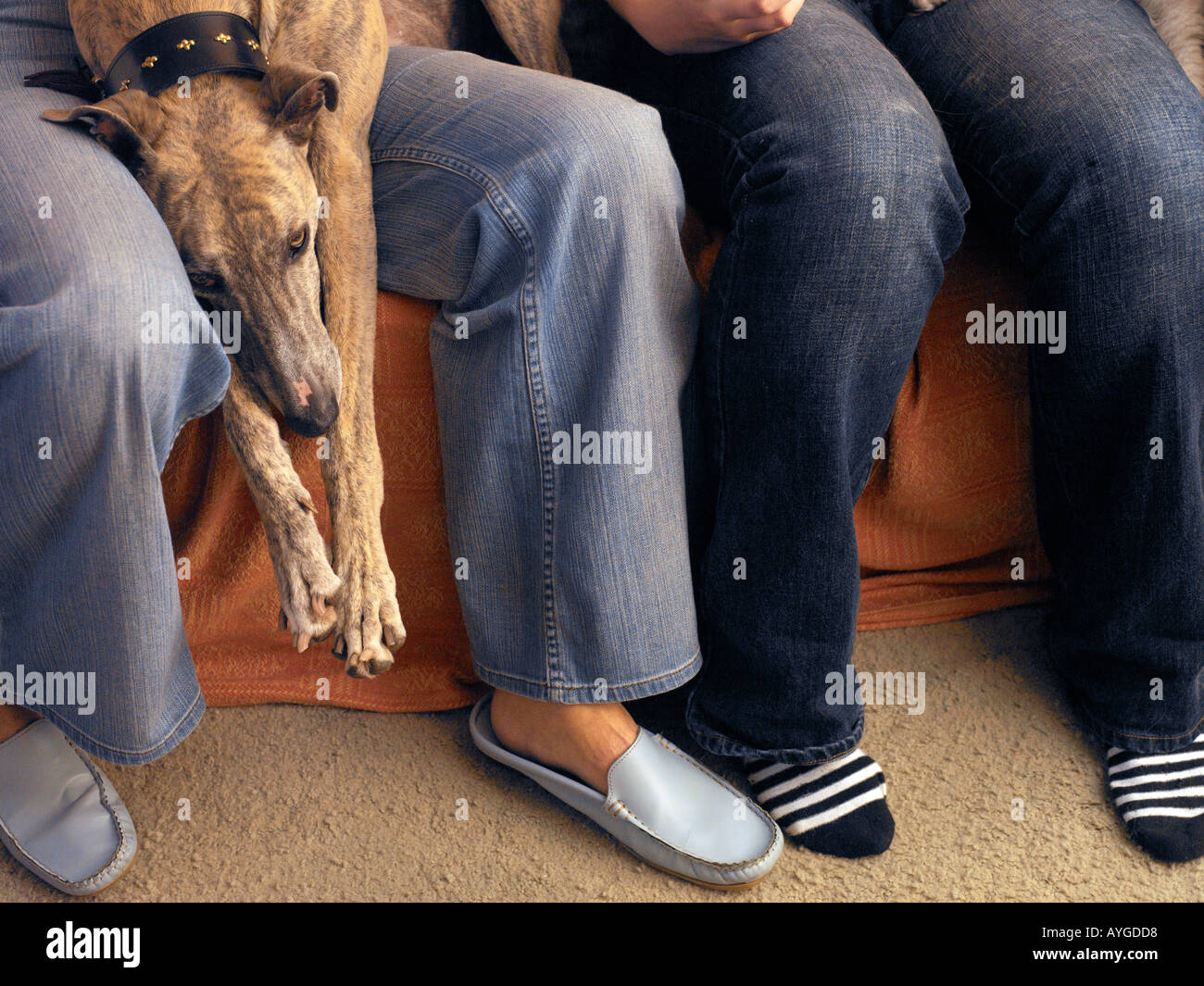 greyhound lying on sofa with family - Stock Image